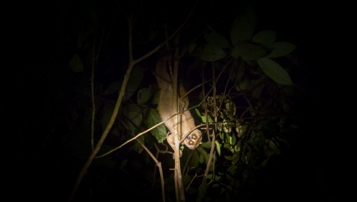 Singe Pendant Le Trekking Nocture à Taman Negara
